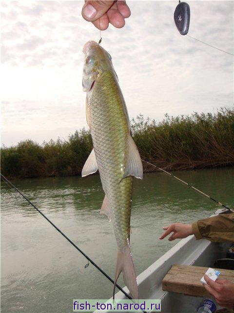 форум рыбаков ловля воблы